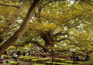 bursa-inkaya-old-tree